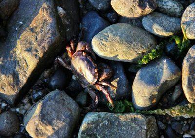 30_crab